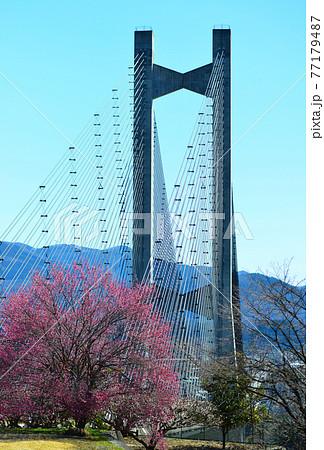秩父公園橋(秩父ハープ橋)と紅梅 Chichibu Harp bridge & red plum 77179487