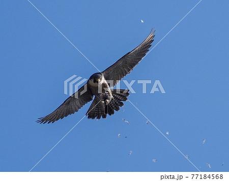 空中で受け取った餌を掴んで悠然と飛ぶ繁殖期のハヤブサ成鳥 メス 77184568