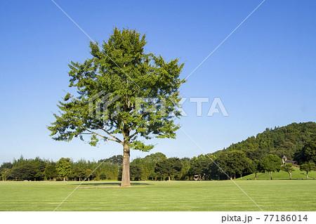 一本の木 77186014