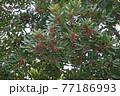 ヤマモモの花  77186993