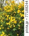 満開の山吹の花  77188244