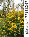 満開の山吹の花  77188247