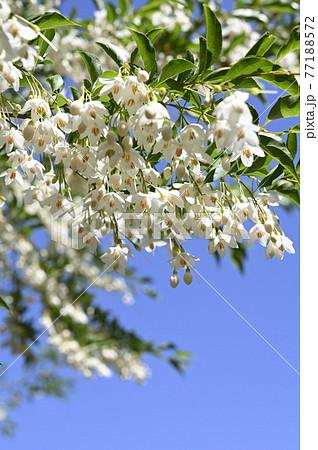 エゴノキの花 77188572