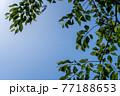 見上げた空と新緑 77188653