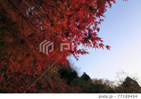 夕暮れの百済寺~天下遠望台の紅葉~ 77189494