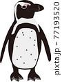 横向きのケープペンギン 77193520