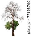 Dead tree 77193790
