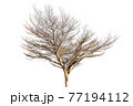 Dead tree 77194112