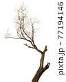 Dead tree 77194146