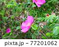 花 植物 バラ 77201062