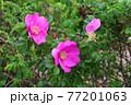 花 植物 バラ 77201063