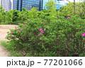 花 バラ 公園 77201066