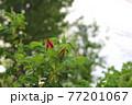 花 植物 バラ 77201067