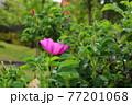 花 植物 バラ 77201068