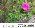 花 植物 バラ 77201069