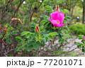 花 植物 バラ 77201071