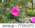 花 植物 バラ 77201072