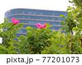 花 バラ 春 77201073