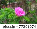 花 バラ 葉 77201074