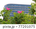 花 バラ 春 77201075