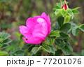 花 バラ 葉 77201076
