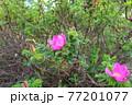 花 植物 バラ 77201077