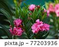 Blooming Pink Oleander flowers (Oleander Nerium)on a blurred background. 77203936