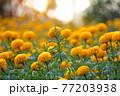 Beautiful marigold flowers in the garden. 77203938
