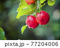 Acerola cherry on the tree with water drop, High vitamin C and antioxidant fruits. Fresh organic Acerola cherry on the tree. 77204006