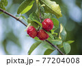 Acerola cherry on the tree with water drop, High vitamin C and antioxidant fruits. Fresh organic Acerola cherry on the tree. 77204008
