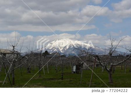 春の弘前郊外の林檎園から望む雪の岩木山 77204222