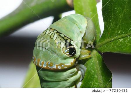クロアゲハの幼虫(5齢に脱皮後) 77210451