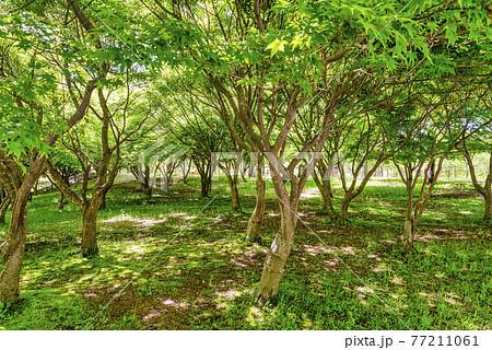 新緑のイメージカット 神奈川県宮ケ瀬ダム湖 77211061
