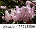 赤城自然園のシャクナゲ 77215609