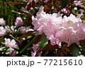 赤城自然園のシャクナゲ 77215610