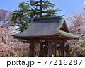 青森県弘前市 金剛山最勝院の鐘楼と桜 77216287