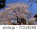 青森県弘前市 八坂神社の桜と金剛山最勝院の五重の塔 77216288