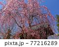 青森県弘前市 金剛山最勝院のしだれ桜 77216289