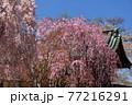 青森県弘前市 金剛山最勝院のしだれ桜 77216291