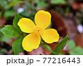 赤城自然園のヤマブキソウ 77216443