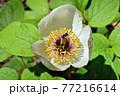 赤城自然園のヤマシャクヤク 77216614