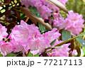 赤城自然園のシャクナゲ 77217113