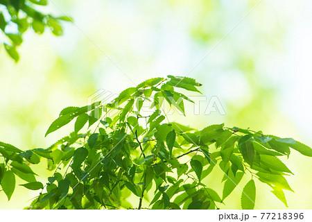さわやか春の芽吹き 新緑 77218396