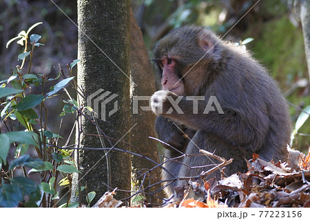 ニホンザル 木の根元に座って何か食べている。全身 77223156