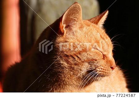伏見稲荷大社の野良猫 77224587
