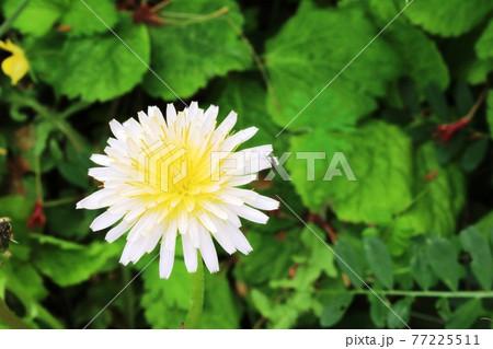 今年も咲いた シロバナタンポポ(白花蒲公英) 77225511