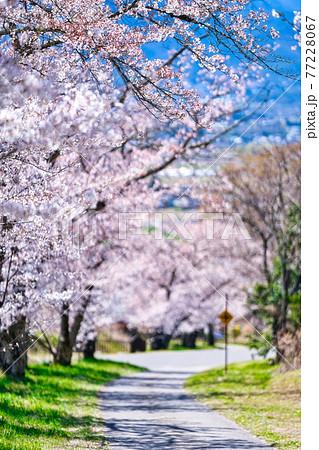 池田町、鵜山の桜並木 77228067