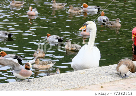 向こうが気になる白鳥とたくさんの鴨 77232513