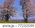 青森県弘前市 堀越城跡の桜と大鰐山地 77232599