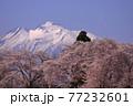 青森県弘前市 堀越城跡の桜と岩木山 77232601